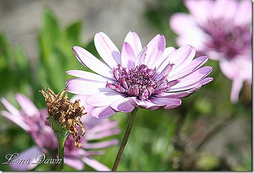 FPC_Osteospermum_Pink2