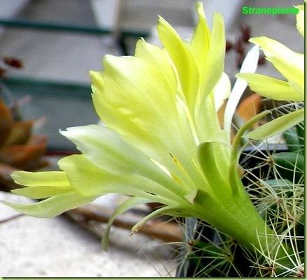 Mammillaria sphaerica fiore lato
