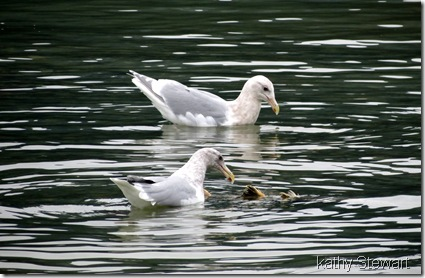 Glaucous Wing and not sure what else gull at a salmon