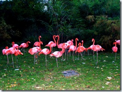 2011.11.12-008 flamants roses