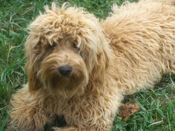 Miniature-Australian-Labradoodle-For-Sale-1