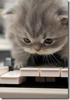 gato pianista blogdeimagenes (35)