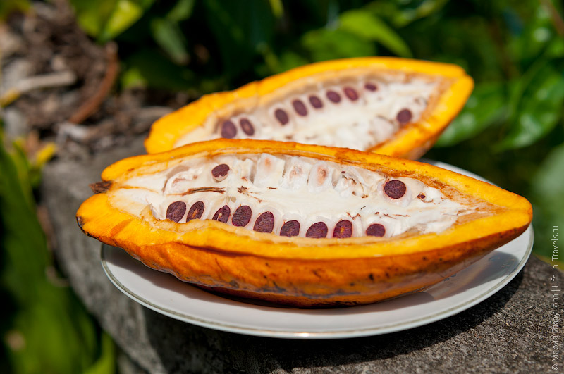 Плод какао