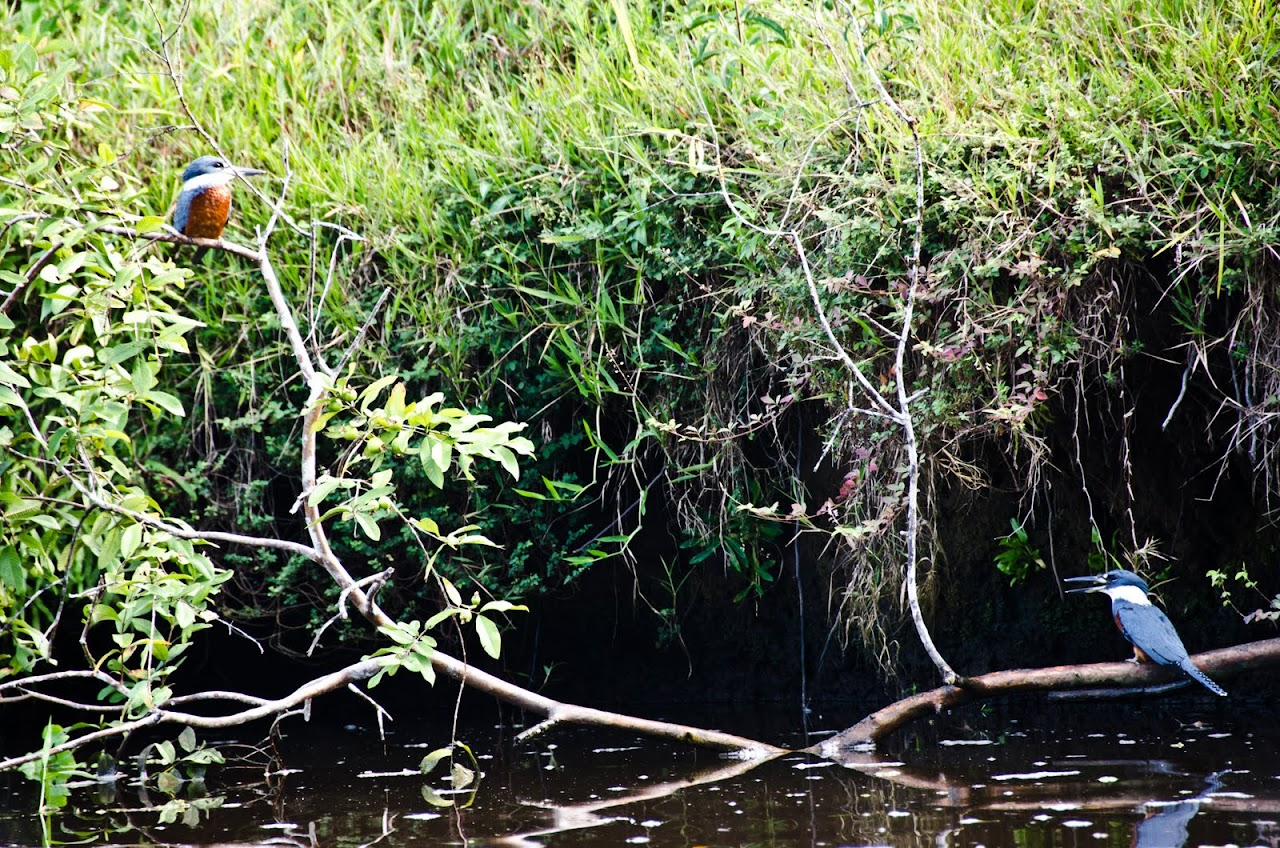 Kingfishers at Tortuguero