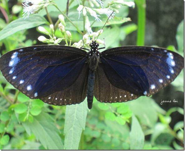 小紫斑蝶3