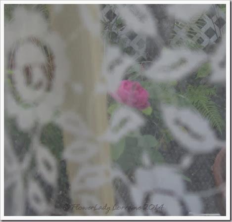 02-12-rose-de-rescht