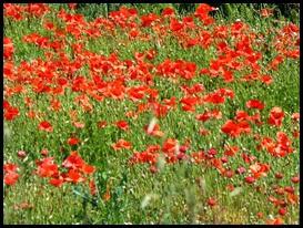 c poppies2