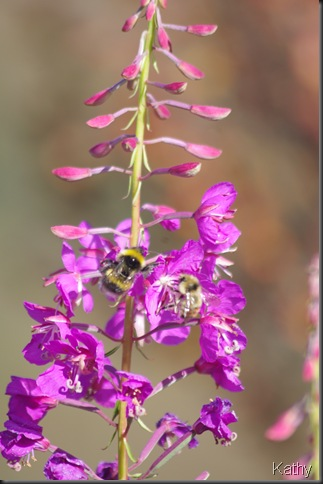 Fireweed with bees