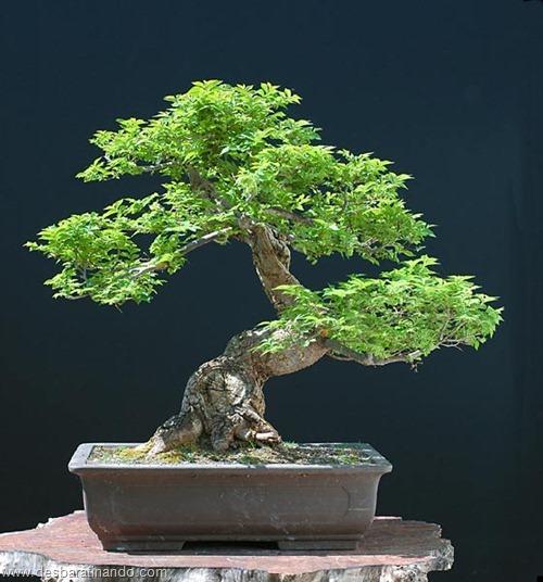 bonsais arvores em miniatura desbaratinando (19)