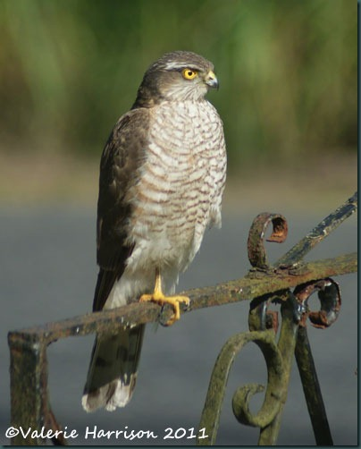 1 sparrowhawk-1 (2)