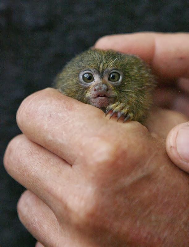 pygmy-marmoset-1