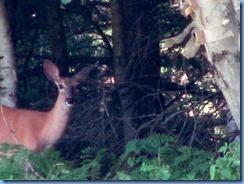 7396 Restoule Provincial Park - deer seen when walking back to campsite