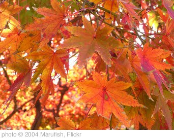 'Autumn Leaf in Nagasaki' photo (c) 2004, Marufish - license: http://creativecommons.org/licenses/by-sa/2.0/