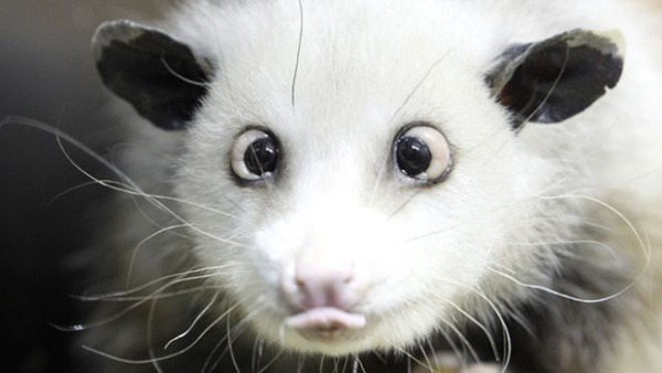 Cross-Eyed Opossum Germany Heidi