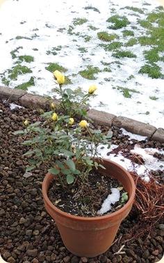 408.Winter roses