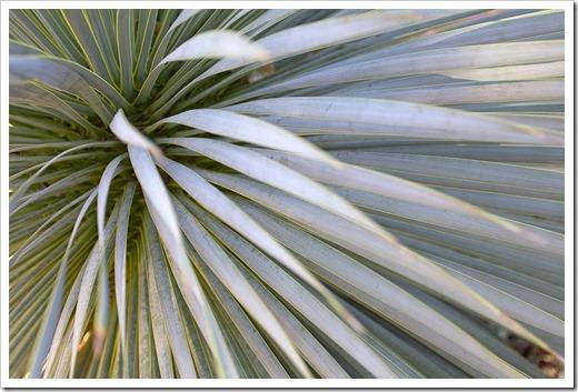 111228_UCBG_Yucca-rostrata_02