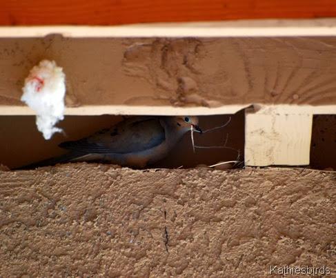 1. dove nesting 4-13-13-kab