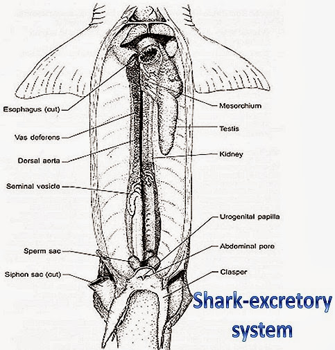 shark-fish-excretory-system