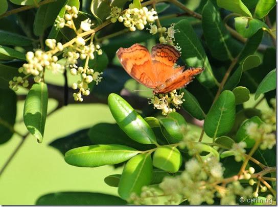 Dimocarpus longan ssp. longan (3)