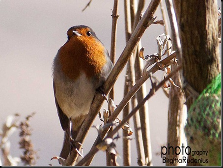 bird_20120311_robin