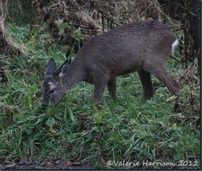 roe-deer-4