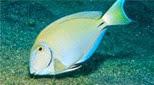 Antilles poisson chirurgien océanique