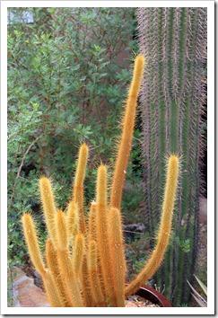 120728_ArizonaSonoraDesertMuseum_Bergerocactus-emoryi-_07