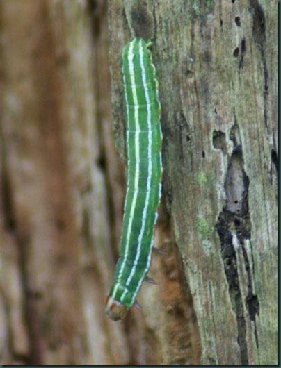 pine beauty caterpillar