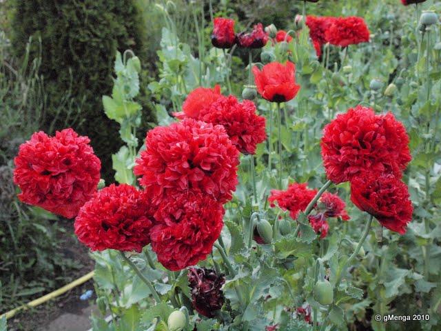 Pavot somniférum à fleur de Pivoine