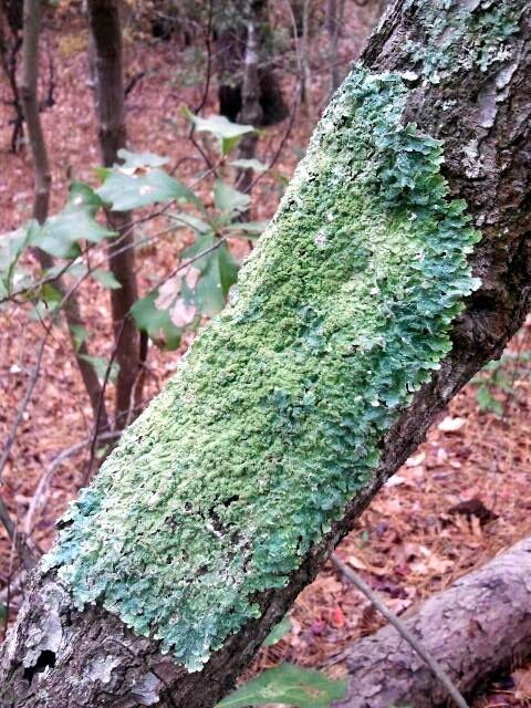 lichen at first landing state park pixiefuzzz.blogspot.com