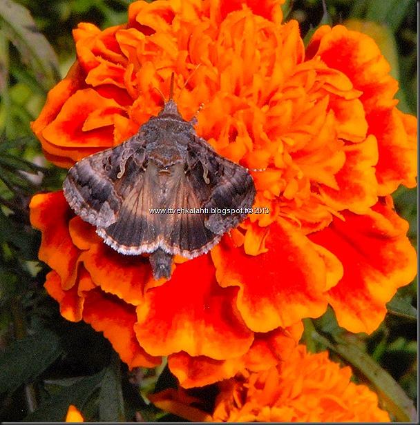perhonen  sudenkorentoja 036