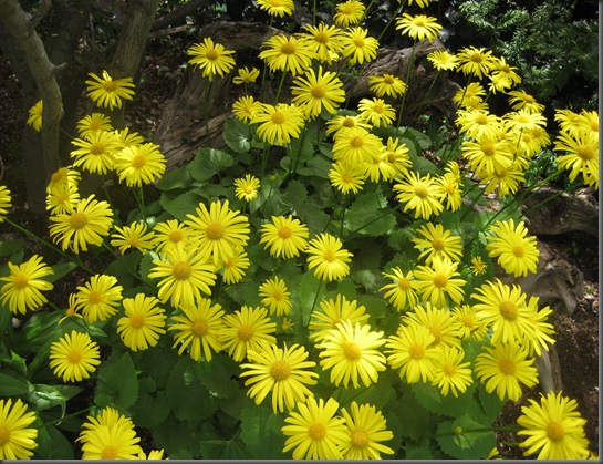Doronicum Caucasicum - gullkorg