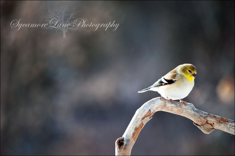 Gold Finch-web-logo-SycamoreLane Photography