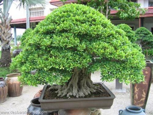 bonsais arvores em miniatura desbaratinando (58)