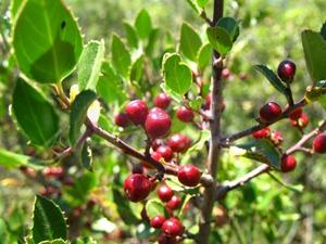 Rhamnus alaternus - Aladierna
