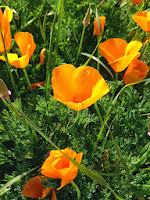 CA poppies  Photo