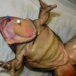 frog_tongue_02.JPG