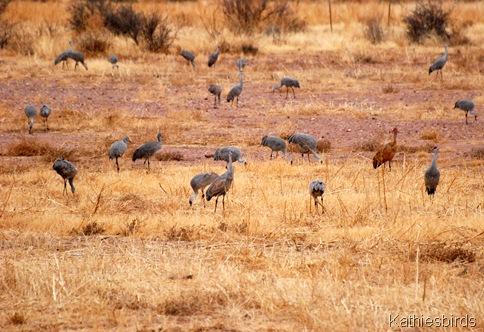 12. sandhill cranes-kab