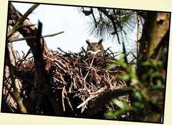 04b - Mommy Great Horned Owl