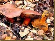 Tricholoma-tigrinum