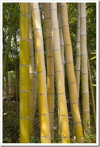 120427_FoothillBG_Phyllostachys-vivax_12