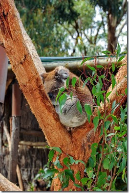 Koalas typically inhabit open eucalypt woodlands, and the leaves of these trees make up most of their diet. Because this eucalypt diet has limited nutritional and caloric content, koalas are largely sedentary and sleep for up to 20 hours a day
