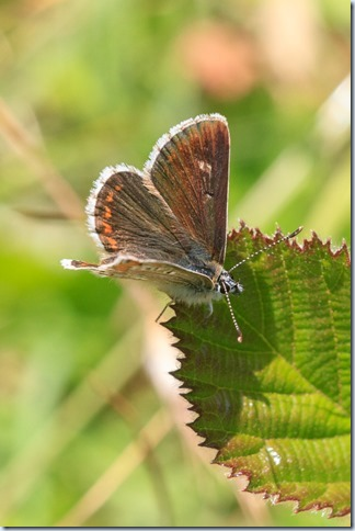 Northern_Brown_Argus-1
