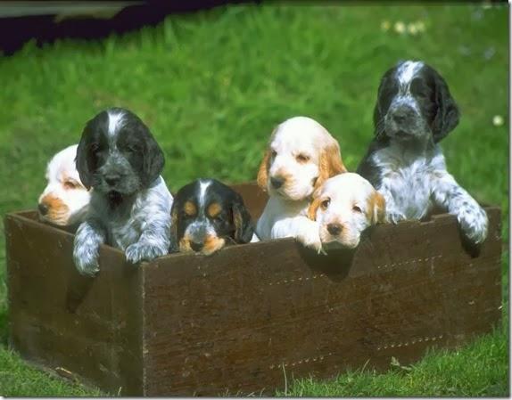 cuccioli-setter