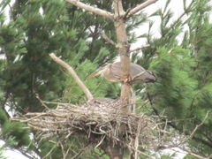 great blue heron in nest2. 7.25.2013