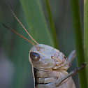 Two-striped Grasshopper (female)