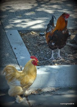 Roosters in Arroyo Grande