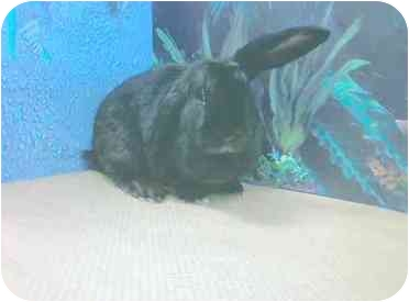 If you are set on getting a bunny this Easter, adopting from a shelter or rescue is by far the best choice. Rescues typically provide the support, education and guidance needed to assure a successful match. Jazmin is a a spayed adult female mini lop mix. She is house trained and would do best with in a patient quiet home.