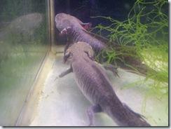 2011.11.25-010 axolotls