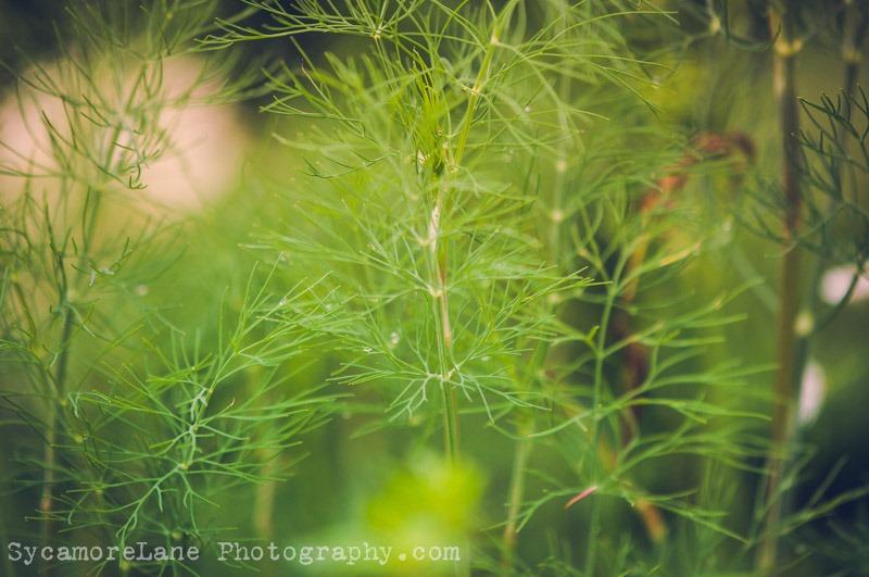 SycamoreLane Photography-herbs